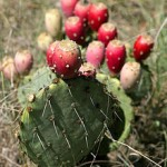 Prickly Pear Cactus Supplements