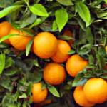 Bitter Orange Diet Pills